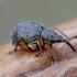 Apionas - Eutrichapion viciae | Fotografijos autorius : Romas Ferenca | © Macrogamta.lt | Šis tinklapis priklauso bendruomenei kuri domisi makro fotografija ir fotografuoja gyvąjį makro pasaulį.