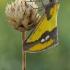 Apocolotois smirnovi   Fotografijos autorius : Armen Seropian   © Macrogamta.lt   Šis tinklapis priklauso bendruomenei kuri domisi makro fotografija ir fotografuoja gyvąjį makro pasaulį.