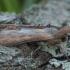 Astrinė kukulija - Cucullia asteris | Fotografijos autorius : Žilvinas Pūtys | © Macrogamta.lt | Šis tinklapis priklauso bendruomenei kuri domisi makro fotografija ir fotografuoja gyvąjį makro pasaulį.