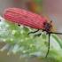 Aušrinis žiedvabalis - Dictyoptera aurora | Fotografijos autorius : Romas Ferenca | © Macrogamta.lt | Šis tinklapis priklauso bendruomenei kuri domisi makro fotografija ir fotografuoja gyvąjį makro pasaulį.