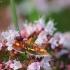 Auksaspalvė pyrausta - Pyrausta aurata | Fotografijos autorius : Vidas Brazauskas | © Macrogamta.lt | Šis tinklapis priklauso bendruomenei kuri domisi makro fotografija ir fotografuoja gyvąjį makro pasaulį.