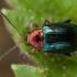 Auksiškoji puošniaspragė - Crepidodera aurata | Fotografijos autorius : Žilvinas Pūtys | © Macrogamta.lt | Šis tinklapis priklauso bendruomenei kuri domisi makro fotografija ir fotografuoja gyvąjį makro pasaulį.