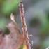 Balsvasis taškasprindis - Cyclophora albipunctata (vikšras) | Fotografijos autorius : Romas Ferenca | © Macrogamta.lt | Šis tinklapis priklauso bendruomenei kuri domisi makro fotografija ir fotografuoja gyvąjį makro pasaulį.