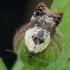 Baltapetis akleris - Acleris variegana | Fotografijos autorius : Romas Ferenca | © Macrogamta.lt | Šis tinklapis priklauso bendruomenei kuri domisi makro fotografija ir fotografuoja gyvąjį makro pasaulį.