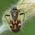 Baltaraištė žolblakė - Polymerus unifasciatus | Fotografijos autorius : Gintautas Steiblys | © Macrogamta.lt | Šis tinklapis priklauso bendruomenei kuri domisi makro fotografija ir fotografuoja gyvąjį makro pasaulį.