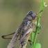Baltataškis spragtukas - Platycleis albopunctata | Fotografijos autorius : Gintautas Steiblys | © Macrogamta.lt | Šis tinklapis priklauso bendruomenei kuri domisi makro fotografija ir fotografuoja gyvąjį makro pasaulį.