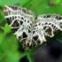 Baltatinklis sprindžius - Eustroma reticulata | Fotografijos autorius : Ramunė Vakarė | © Macrogamta.lt | Šis tinklapis priklauso bendruomenei kuri domisi makro fotografija ir fotografuoja gyvąjį makro pasaulį.