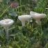 Baltoji guotainė - Cuphophyllus virgineus  | Fotografijos autorius : Vytautas Gluoksnis | © Macrogamta.lt | Šis tinklapis priklauso bendruomenei kuri domisi makro fotografija ir fotografuoja gyvąjį makro pasaulį.