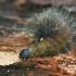 Baltojo strėlinuko - Acronicta leporina vikšras | Fotografijos autorius : Gintautas Steiblys | © Macrogamta.lt | Šis tinklapis priklauso bendruomenei kuri domisi makro fotografija ir fotografuoja gyvąjį makro pasaulį.