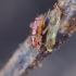 Trumpasparnė vikriablakė - Ceratocombus brevipennis, nimfa | Fotografijos autorius : Romas Ferenca | © Macrogamta.lt | Šis tinklapis priklauso bendruomenei kuri domisi makro fotografija ir fotografuoja gyvąjį makro pasaulį.