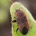 Dirvablakė - Emblethis sp. | Fotografijos autorius : Gintautas Steiblys | © Macrogamta.lt | Šis tinklapis priklauso bendruomenei kuri domisi makro fotografija ir fotografuoja gyvąjį makro pasaulį.