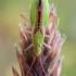 Žaliapilvė kampuotblakė - Myrmus miriformis | Fotografijos autorius : Oskaras Venckus | © Macrogamta.lt | Šis tinklapis priklauso bendruomenei kuri domisi makro fotografija ir fotografuoja gyvąjį makro pasaulį.