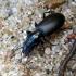 Didžiagalvis žygis - Broscus cephalotes | Fotografijos autorius : Vitalii Alekseev | © Macrogamta.lt | Šis tinklapis priklauso bendruomenei kuri domisi makro fotografija ir fotografuoja gyvąjį makro pasaulį.