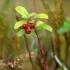 Bruknė - Vaccinium vitis-idaea | Fotografijos autorius : Vidas Brazauskas | © Macrogamta.lt | Šis tinklapis priklauso bendruomenei kuri domisi makro fotografija ir fotografuoja gyvąjį makro pasaulį.