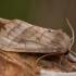 Bulvinis pelėdgalvis - Hydraecia micacea | Fotografijos autorius : Žilvinas Pūtys | © Macrogamta.lt | Šis tinklapis priklauso bendruomenei kuri domisi makro fotografija ir fotografuoja gyvąjį makro pasaulį.