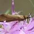 Buožaininė ilgaūsė makštinė kandis - Nemophora metallica  | Fotografijos autorius : Gintautas Steiblys | © Macrogamta.lt | Šis tinklapis priklauso bendruomenei kuri domisi makro fotografija ir fotografuoja gyvąjį makro pasaulį.