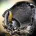Cilindriškasis elniavabalis - Sinodendron cylindricum | Fotografijos autorius : Kazimieras Martinaitis | © Macrogamta.lt | Šis tinklapis priklauso bendruomenei kuri domisi makro fotografija ir fotografuoja gyvąjį makro pasaulį.