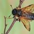 Cimbeksas - Trichiosoma lucorum   Fotografijos autorius : Gintautas Steiblys   © Macrogamta.lt   Šis tinklapis priklauso bendruomenei kuri domisi makro fotografija ir fotografuoja gyvąjį makro pasaulį.