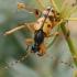 Dėmėtasis grakštenis - Rutpela maculata ♀ | Fotografijos autorius : Gintautas Steiblys | © Macrogamta.lt | Šis tinklapis priklauso bendruomenei kuri domisi makro fotografija ir fotografuoja gyvąjį makro pasaulį.