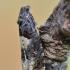 Daginė epiblema - Epiblema scutulana | Fotografijos autorius : Arūnas Eismantas | © Macrogamta.lt | Šis tinklapis priklauso bendruomenei kuri domisi makro fotografija ir fotografuoja gyvąjį makro pasaulį.