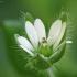 Daržinė žliūgė - Stellaria media | Fotografijos autorius : Vidas Brazauskas | © Macrogamta.lt | Šis tinklapis priklauso bendruomenei kuri domisi makro fotografija ir fotografuoja gyvąjį makro pasaulį.