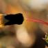 Daržinė pienė - Sonchus oleraceus | Fotografijos autorius : Ramunė Vakarė | © Macrogamta.lt | Šis tinklapis priklauso bendruomenei kuri domisi makro fotografija ir fotografuoja gyvąjį makro pasaulį.