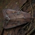Daržinis pelėdgalvis - Lacanobia oleracea | Fotografijos autorius : Žilvinas Pūtys | © Macrogamta.lt | Šis tinklapis priklauso bendruomenei kuri domisi makro fotografija ir fotografuoja gyvąjį makro pasaulį.