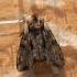 Daržinis pelėdgalvis - Lacanobia oleracea | Fotografijos autorius : Ramunė Vakarė | © Macrogamta.lt | Šis tinklapis priklauso bendruomenei kuri domisi makro fotografija ir fotografuoja gyvąjį makro pasaulį.