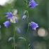 Didžiažiedis katilėlis – Campanula persicifolia | Fotografijos autorius : Agnė Našlėnienė | © Macrogamta.lt | Šis tinklapis priklauso bendruomenei kuri domisi makro fotografija ir fotografuoja gyvąjį makro pasaulį.