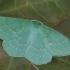Didysis žaliasprindis - Geometra papilionaria | Fotografijos autorius : Gintautas Steiblys | © Macrogamta.lt | Šis tinklapis priklauso bendruomenei kuri domisi makro fotografija ir fotografuoja gyvąjį makro pasaulį.
