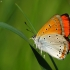 Didysis auksinukas - Lycaena dispar | Fotografijos autorius : Vidas Brazauskas | © Macrogamta.lt | Šis tinklapis priklauso bendruomenei kuri domisi makro fotografija ir fotografuoja gyvąjį makro pasaulį.