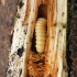 Didysis drebulenis - Saperda carcharias | Fotografijos autorius : Vytautas Tamutis | © Macrogamta.lt | Šis tinklapis priklauso bendruomenei kuri domisi makro fotografija ir fotografuoja gyvąjį makro pasaulį.