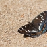 Didysis juodmargis - Limenitis populi | Fotografijos autorius : Zita Gasiūnaitė | © Macrogamta.lt | Šis tinklapis priklauso bendruomenei kuri domisi makro fotografija ir fotografuoja gyvąjį makro pasaulį.