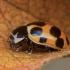 Dilgėlinė boružė - Hippodamia notata | Fotografijos autorius : Žilvinas Pūtys | © Macrogamta.lt | Šis tinklapis priklauso bendruomenei kuri domisi makro fotografija ir fotografuoja gyvąjį makro pasaulį.