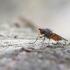 Heteromyza sp. | Fotografijos autorius : Zita Gasiūnaitė | © Macrogamta.lt | Šis tinklapis priklauso bendruomenei kuri domisi makro fotografija ir fotografuoja gyvąjį makro pasaulį.