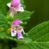 Dirvinė aklė - Galeopsis tetrahit | Fotografijos autorius : Ramunė Vakarė | © Macrogamta.lt | Šis tinklapis priklauso bendruomenei kuri domisi makro fotografija ir fotografuoja gyvąjį makro pasaulį.