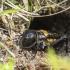 Dirvoninis svirplys - Gryllus campestris | Fotografijos autorius : Kazimieras Martinaitis | © Macrogamta.lt | Šis tinklapis priklauso bendruomenei kuri domisi makro fotografija ir fotografuoja gyvąjį makro pasaulį.