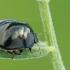 Dobilinė kamuolblakė - Coptosoma scutellarum | Fotografijos autorius : Gintautas Steiblys | © Macrogamta.lt | Šis tinklapis priklauso bendruomenei kuri domisi makro fotografija ir fotografuoja gyvąjį makro pasaulį.