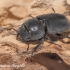 Platusis elniavabalis (Dorcus parallelipipedus) | Fotografijos autorius : Aleksandras Naryškin | © Macrogamta.lt | Šis tinklapis priklauso bendruomenei kuri domisi makro fotografija ir fotografuoja gyvąjį makro pasaulį.