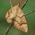 Drebulinis juostasprindis - Eulithis populata   Fotografijos autorius : Gintautas Steiblys   © Macrogamta.lt   Šis tinklapis priklauso bendruomenei kuri domisi makro fotografija ir fotografuoja gyvąjį makro pasaulį.