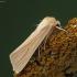 Paprastasis pievinukas - Mythimna pallens | Fotografijos autorius : Vidas Brazauskas | © Macrogamta.lt | Šis tinklapis priklauso bendruomenei kuri domisi makro fotografija ir fotografuoja gyvąjį makro pasaulį.