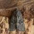 Ruginis stiebinukas - Mesapamea cf. secalis | Fotografijos autorius : Vidas Brazauskas | © Macrogamta.lt | Šis tinklapis priklauso bendruomenei kuri domisi makro fotografija ir fotografuoja gyvąjį makro pasaulį.