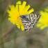 Pilkasis dobilinukas - Callistege mi | Fotografijos autorius : Vidas Brazauskas | © Macrogamta.lt | Šis tinklapis priklauso bendruomenei kuri domisi makro fotografija ir fotografuoja gyvąjį makro pasaulį.