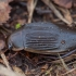 Dusia - Dytiscus dimidiatus ♀ | Fotografijos autorius : Žilvinas Pūtys | © Macrogamta.lt | Šis tinklapis priklauso bendruomenei kuri domisi makro fotografija ir fotografuoja gyvąjį makro pasaulį.