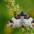 Dvidėmė cidarija - Catarhoe cuculata | Fotografijos autorius : Arūnas Eismantas | © Macrogamta.lt | Šis tinklapis priklauso bendruomenei kuri domisi makro fotografija ir fotografuoja gyvąjį makro pasaulį.