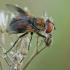 Dygliamusė - Ectophasia crassipennis   Fotografijos autorius : Gintautas Steiblys   © Macrogamta.lt   Šis tinklapis priklauso bendruomenei kuri domisi makro fotografija ir fotografuoja gyvąjį makro pasaulį.