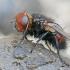 Dygliamusė - Gonia divisa | Fotografijos autorius : Gintautas Steiblys | © Macrogamta.lt | Šis tinklapis priklauso bendruomenei kuri domisi makro fotografija ir fotografuoja gyvąjį makro pasaulį.