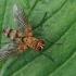 Dygliamusė - Dexiosoma caninum | Fotografijos autorius : Gintautas Steiblys | © Macrogamta.lt | Šis tinklapis priklauso bendruomenei kuri domisi makro fotografija ir fotografuoja gyvąjį makro pasaulį.