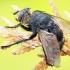 Dygliamusė - Nowickia ferox | Fotografijos autorius : Gintautas Steiblys | © Macrogamta.lt | Šis tinklapis priklauso bendruomenei kuri domisi makro fotografija ir fotografuoja gyvąjį makro pasaulį.