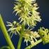 Dygliavaisis virkštenis - Echinocystis lobata | Fotografijos autorius : Ramunė Vakarė | © Macrogamta.lt | Šis tinklapis priklauso bendruomenei kuri domisi makro fotografija ir fotografuoja gyvąjį makro pasaulį.